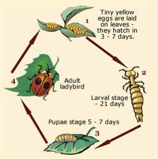 Ladybugs, Doug and a ukulele. | Ukulele 4 Kids - photo#23